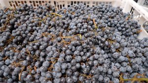 15-grapes-up-close-blog480-v2
